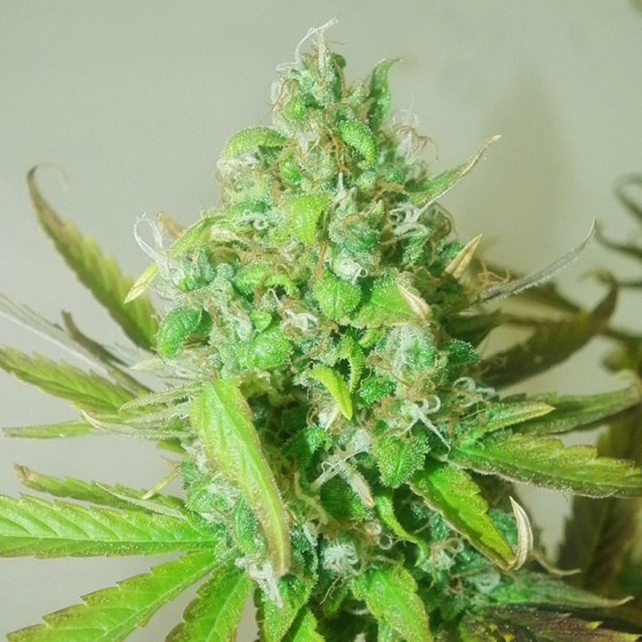 Errors-Seeds Auto Sweet Tooth фем. silver
