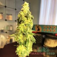 Master-Seed Auto New York Diesel фем.