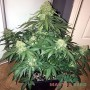 Master-Seed Auto Sweet Tooth фем.